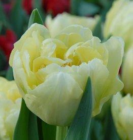 Tulp  Tulipa 'Verona'