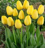 Tulp  Tulipa 'Golden Parade'
