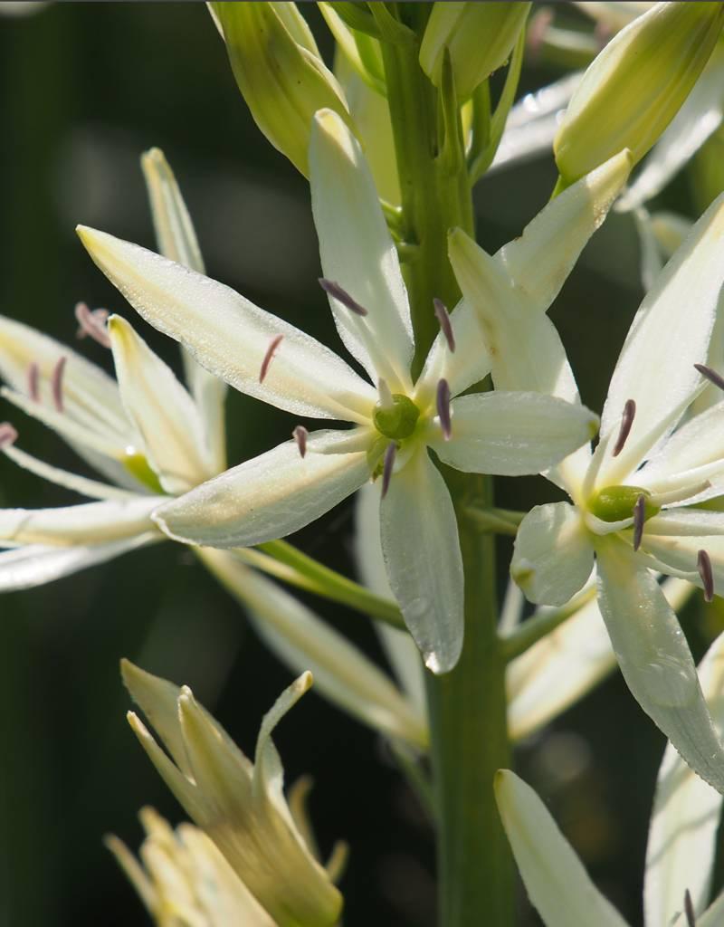 Indianenbloem  Camassia leichtlinii 'Sacajawea', BIO