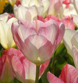 Tulp  Tulipa 'Flaming Purissima'
