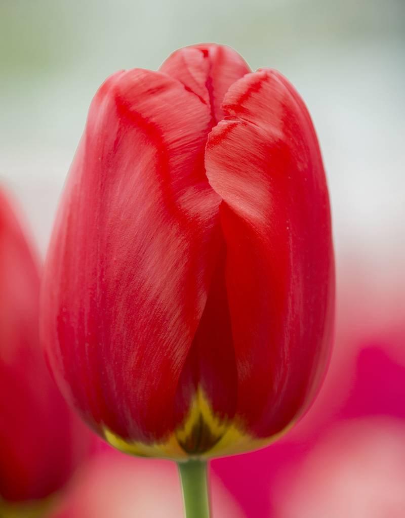 Tulp  Tulipa 'Parade'