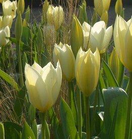 Tulp  Tulipa 'Purissima'