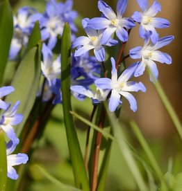 Sneeuwroem  Chionodoxa forbesii 'Blue Giant', BIO