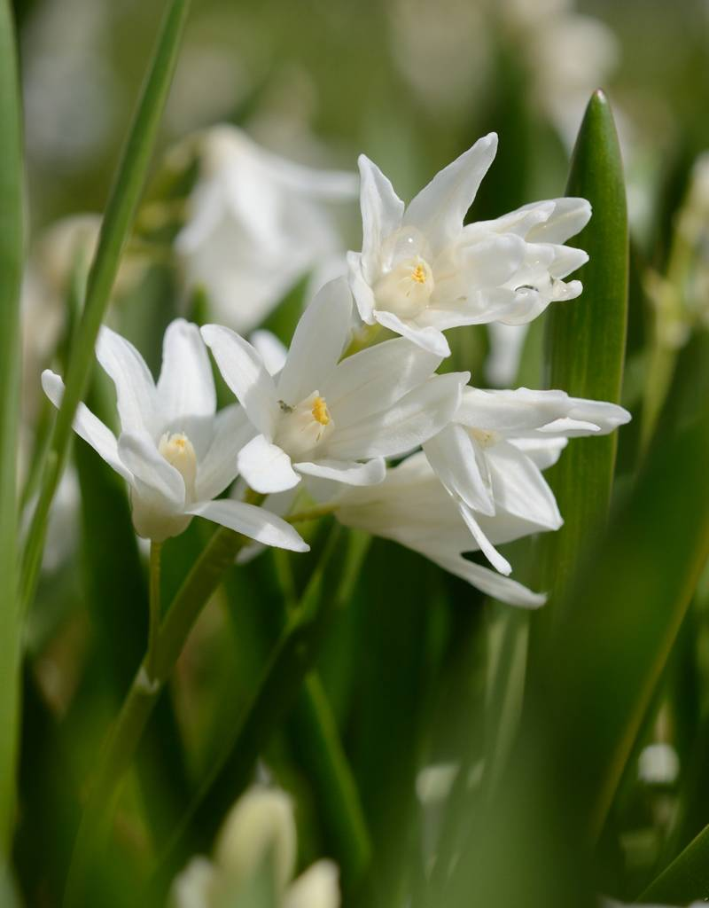 Buishyacint Puschkinia scilloides var. libanotica 'Alba' (Buishyacint), BIO
