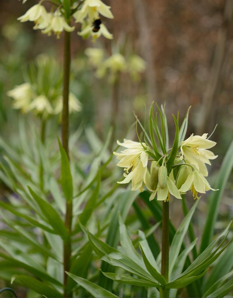 Keizerskroon Fritillaria raddeana (Gele Keizerskroon)