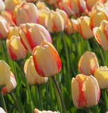 Tulp  Tulipa 'Beauty of Spring', BIO