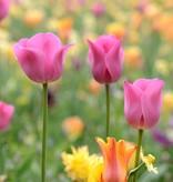Tulp Tulipa 'Don Quichotte'