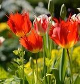 Tulp Tulipa 'Leo'
