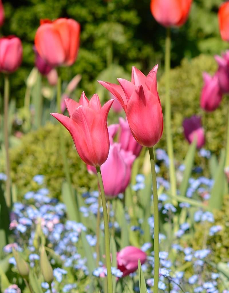 Tulp Tulipa 'Jacqueline'