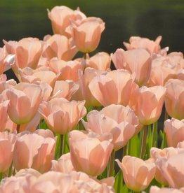 Tulp Tulipa 'Apricot Beauty'