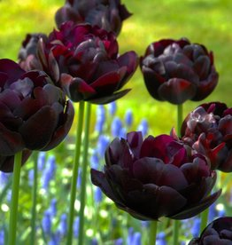Tulp  Tulipa 'Black Hero'