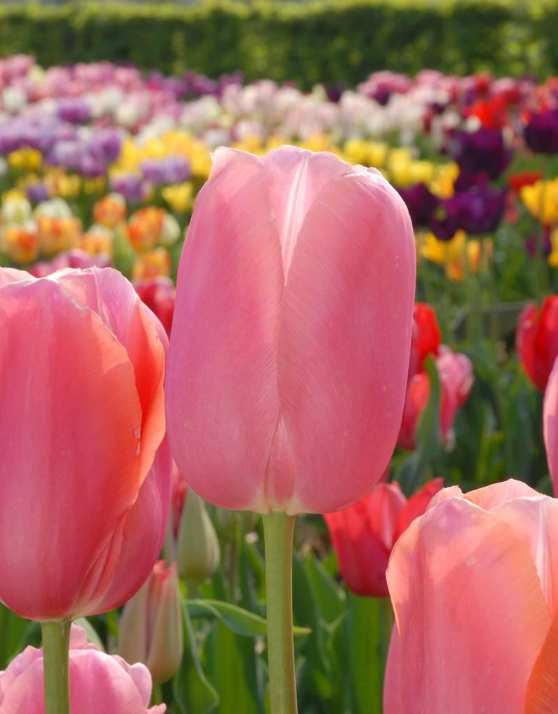 Tulp Tulipa 'Menton'