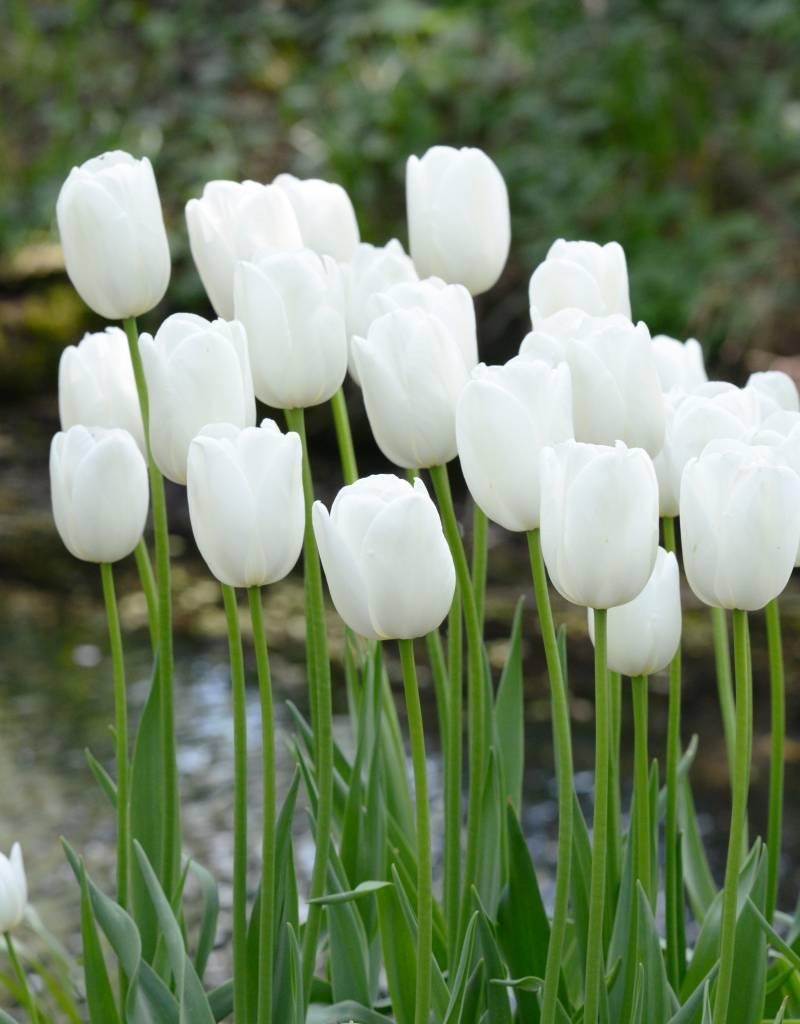 Tulp Tulipa 'Maureen'