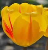 Tulp Tulipa 'Juliette'
