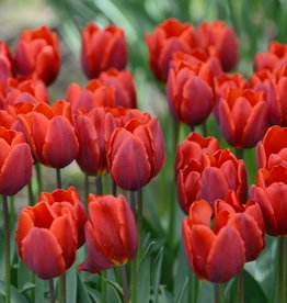 Tulp  Tulipa 'Couleur Cardinal'