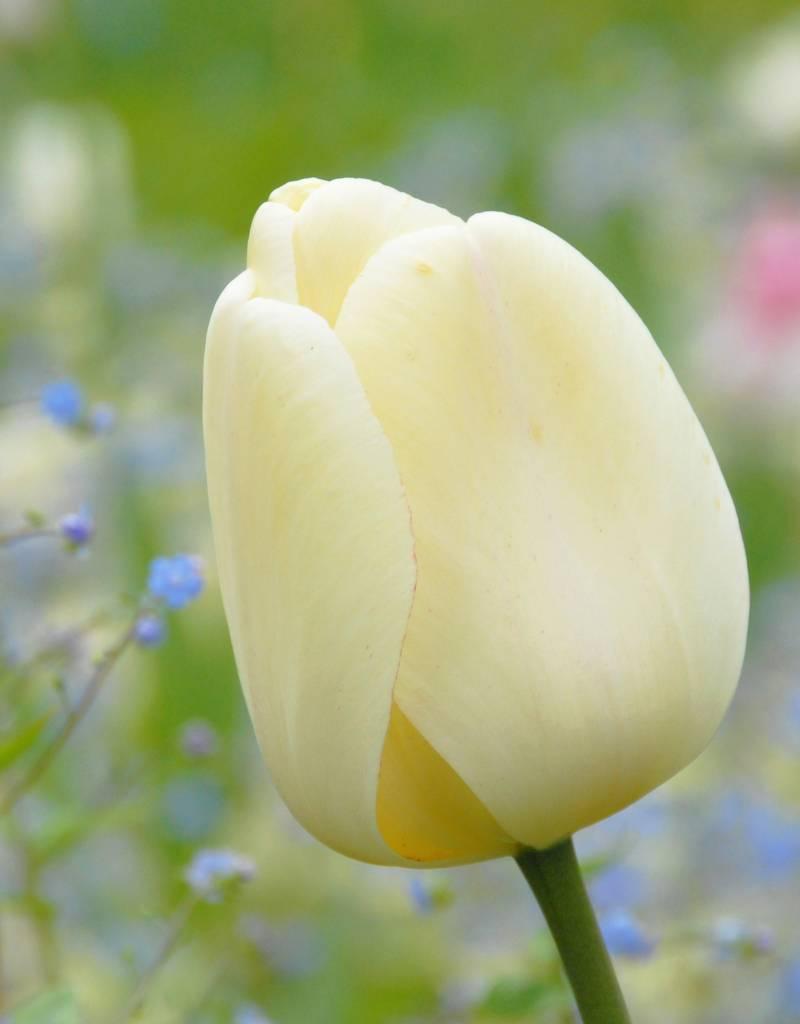 Tulp Tulipa 'Ivory Floradale'