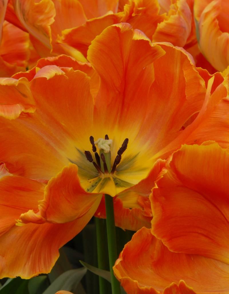 Tulp Tulipa 'Professor Röntgen'