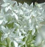 Vogelmelk (knikkende) Ornithogalum nutans (Knikkende vogelmelk) - Stinzenplant, Bio