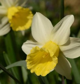 Narcis Narcissus 'February Silver'