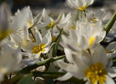 TULIPA - wilde (botanische) tulp