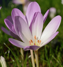 Herfsttijloos  Colchicum 'Rosy Wonder'