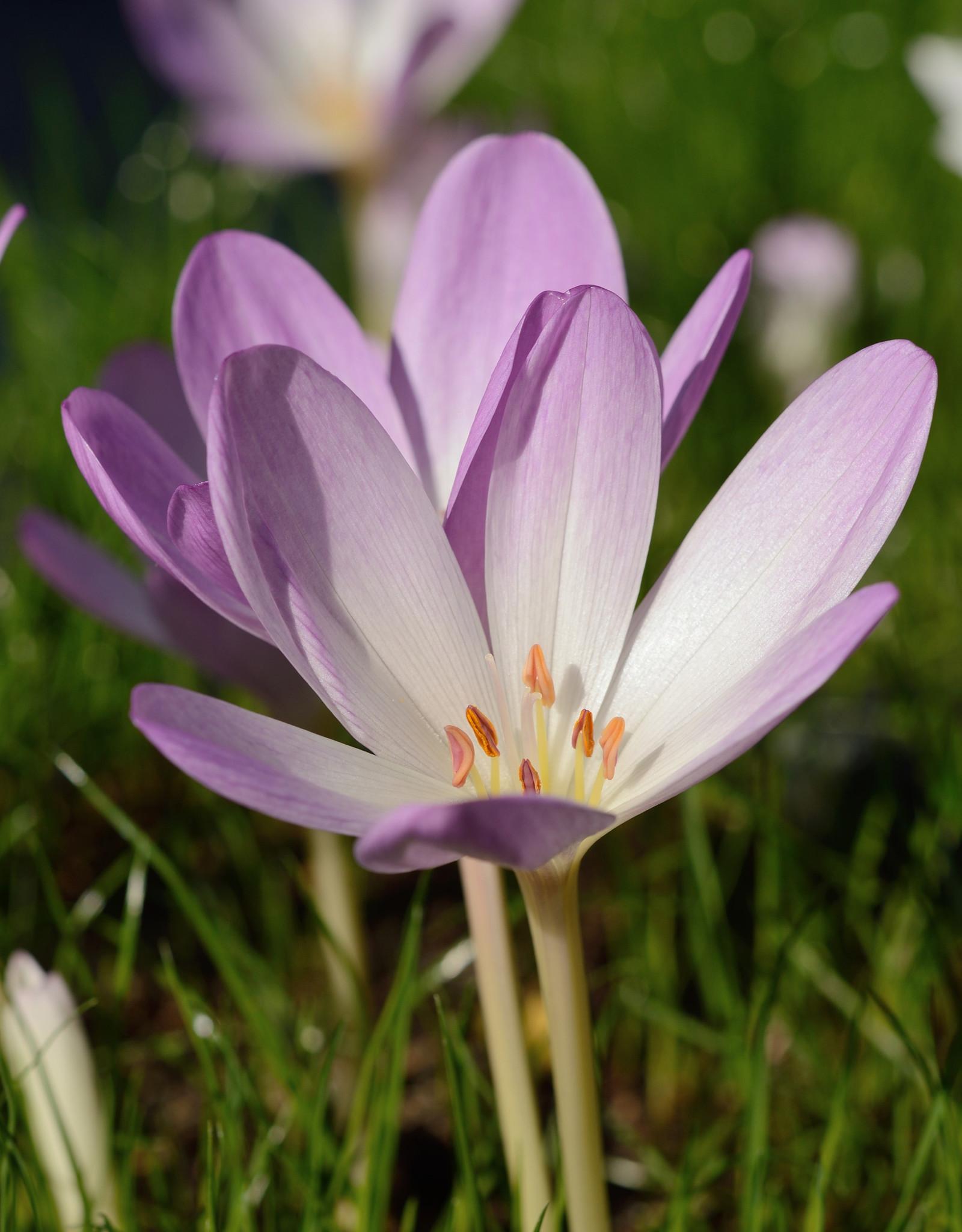Herfsttijloos Colchicum 'Rosy Wonder' (Herfsttijloos)