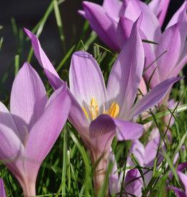 Herfsttijloos  Colchicum speciosum