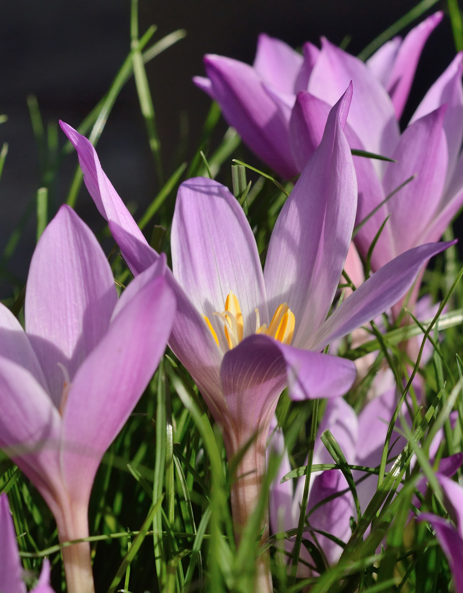 Herfsttijloos Colchicum speciosum (Herfsttijloos)
