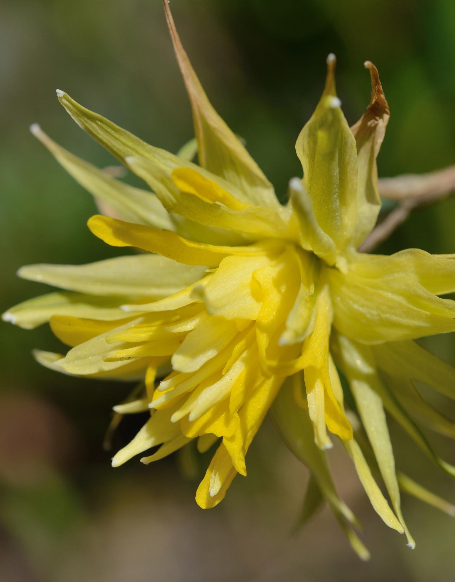 Narcis  Narcissus 'Rip van Winkle'