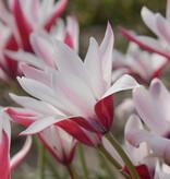 Tulp Tulipa clusiana 'Peppermint Stick'