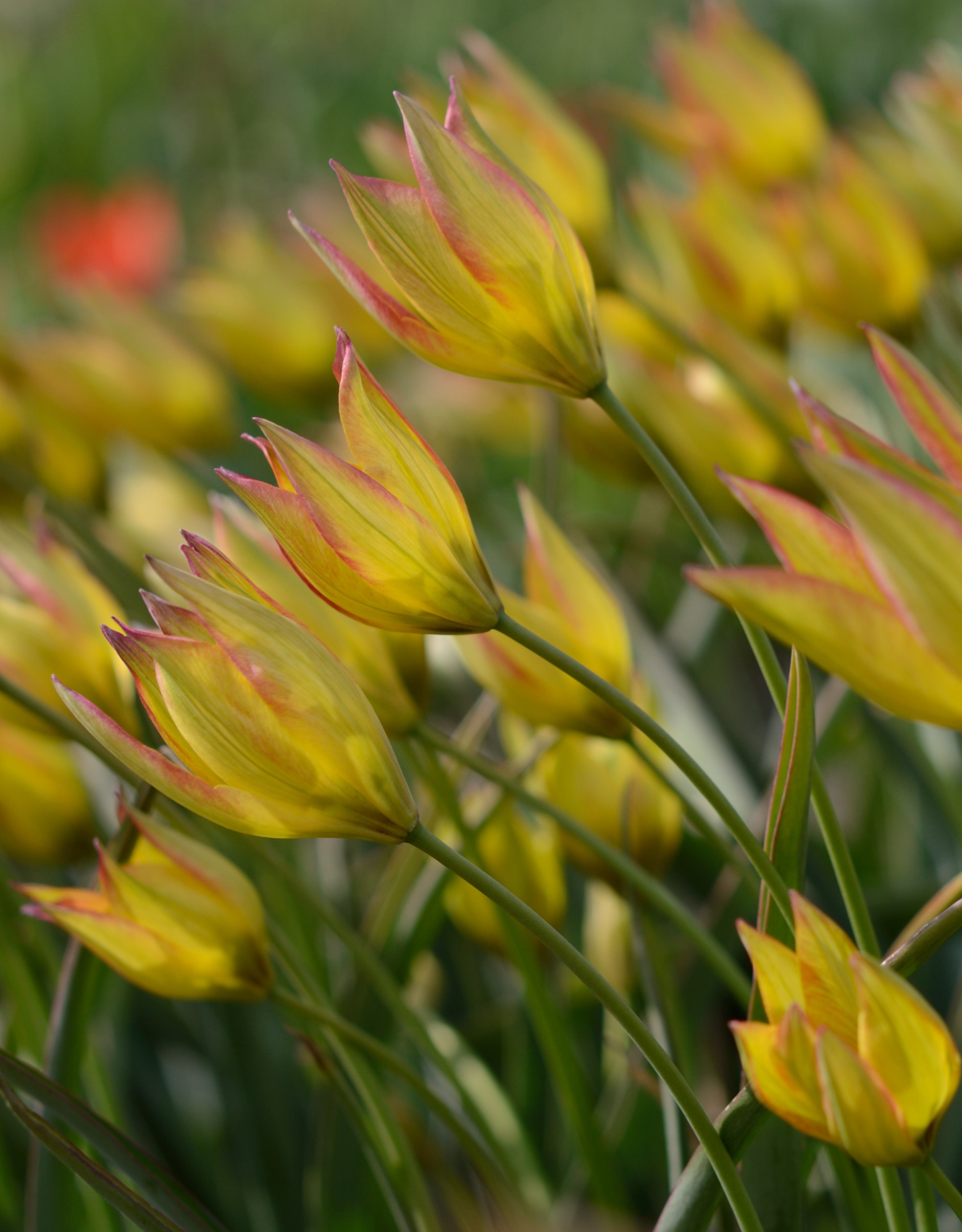 Tulp  Tulipa orphanidea 'Flava'
