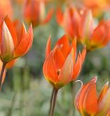 Tulp  Tulipa whittallii