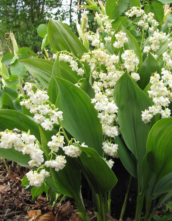 Lelietje der dalen Convallaria majalis 'Prolificans' (Lelietje der dalen) - Stinzenplant