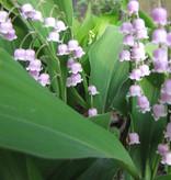 Lelietje der dalen  Convallaria majalis 'Rosea' (Lelietje der dalen) - Stinzenplant