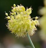 Look  Allium obliquum