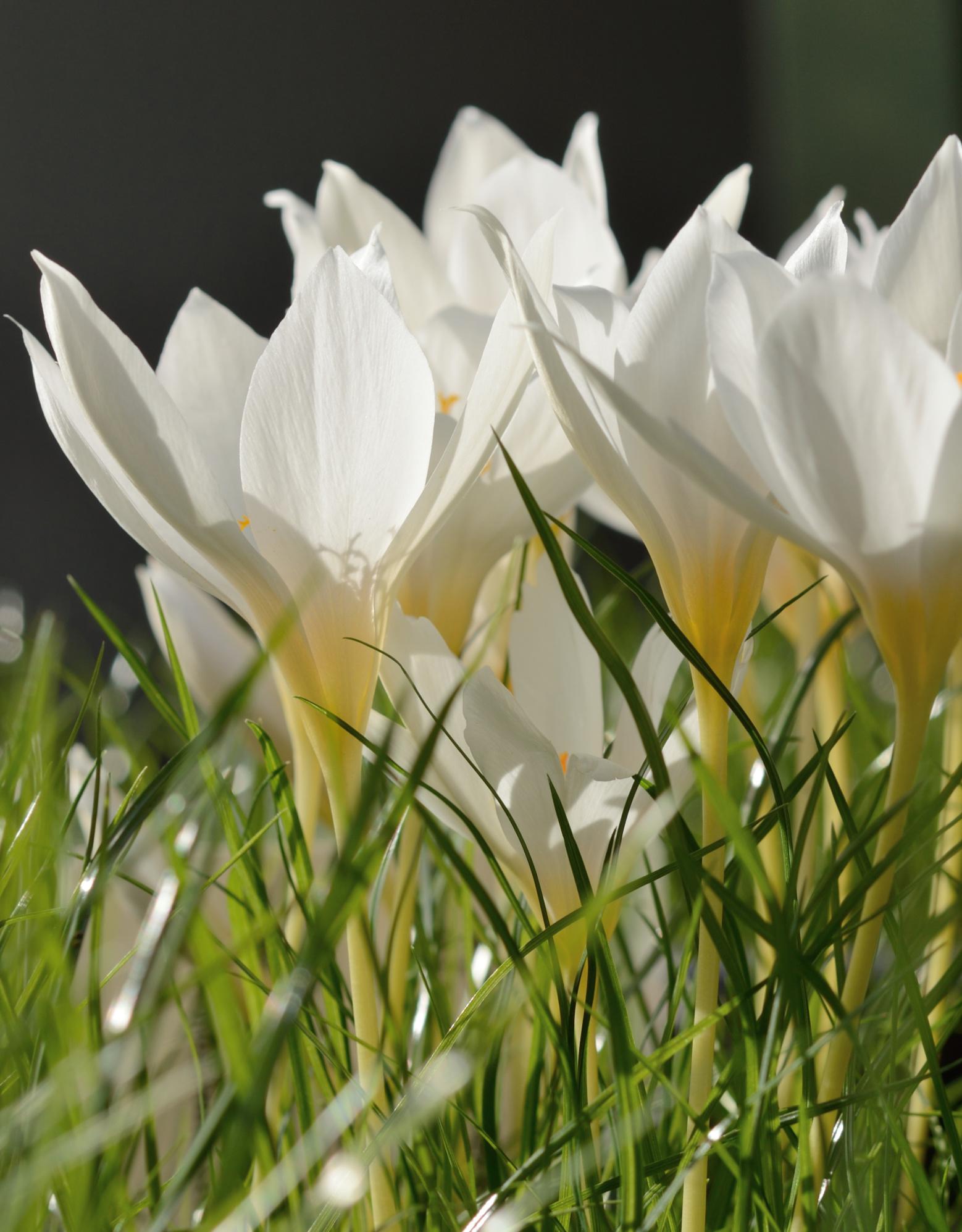 Krokus (herfst)  Crocus speciosus 'Albus' (Witte herfstkrokus)