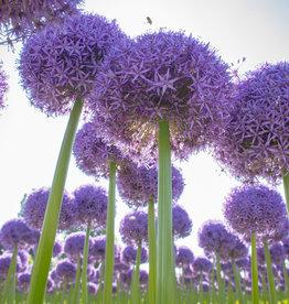 Sierui Allium 'Globemaster'