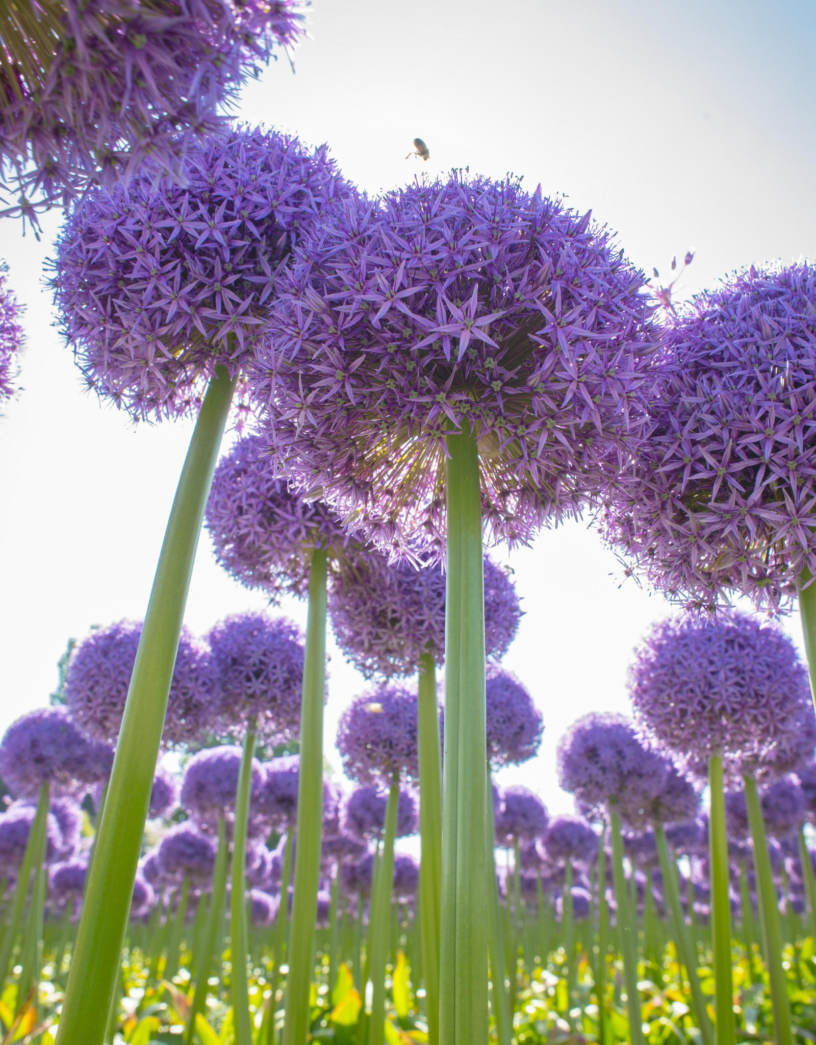 Sierui Allium 'Globemaster' (Sierui)