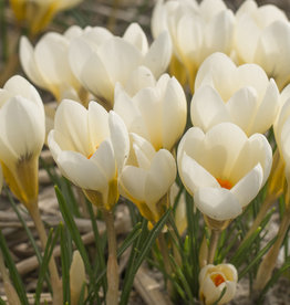 Krokus Crocus chrysanthus 'Cream Beauty'