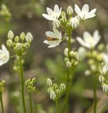 Brodiaea  Triteleia hyacinthina (Brodiaea)