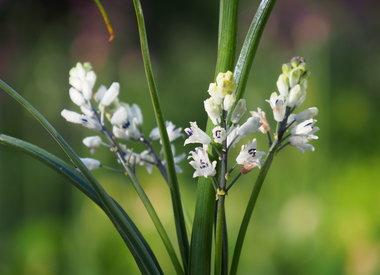 BELLEVALIA - druifhyacint