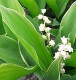 Lelietje der dalen  Convallaria majalis 'Hofheim' (Lelietje der dalen) - Stinzenplant