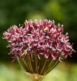 Sierui  Allium atropurpureum (Sierui)