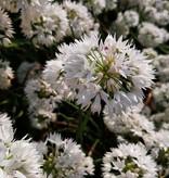 Sierui  Allium albidum