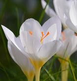 Krokus (herfst)  Crocus pulchellus 'Zephyr' (Herfst prachtkrokus)