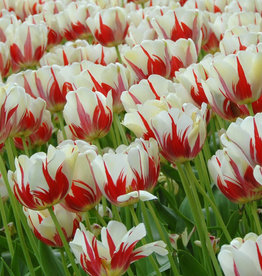 Tulp  Tulipa 'World Expression'