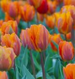 Tulp Tulipa 'Prinses Irene'