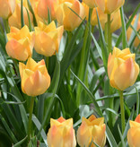 Tulp  Tulipa batalinii 'Bright Gem'
