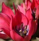 Tulp  Tulipa 'Little Beauty', BIO