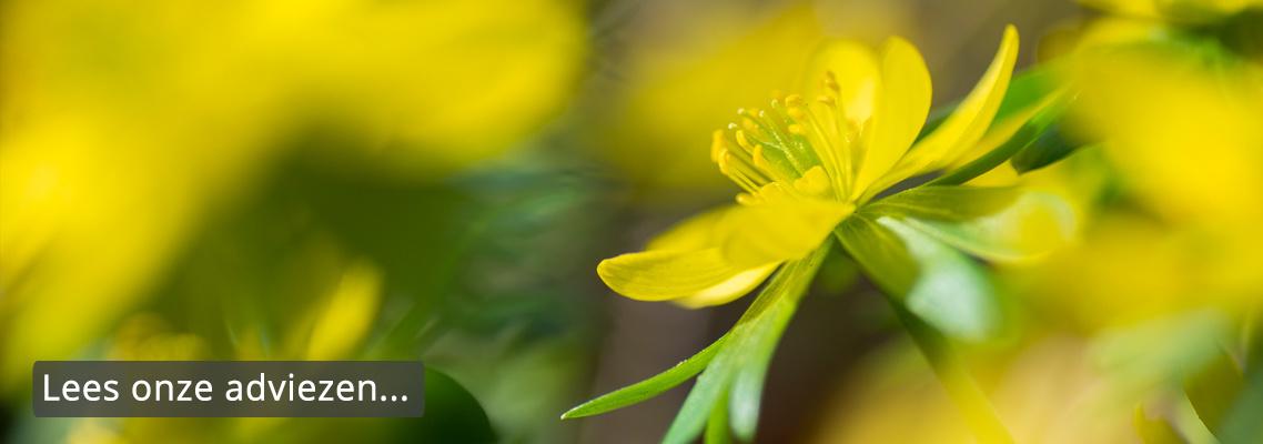 stinsenplanten-sierui